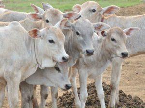सपने में गाय का बछड़ा देखना मतलब क्या होता है
