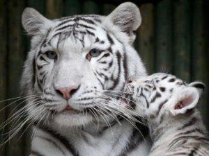 क्या सपने में बाघ देखना शुभ होता है
